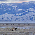 Elk At Dusk by J L Woody Wooden