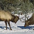 Elk  Bulls Fighting In Yellowstone by Konrad Wothe