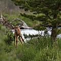 Elk Calf by Lee Kirchhevel