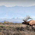 Elk Crossing by Ryan Smith