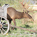 Elk Drawn Carriage by Shane Bechler