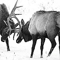 Elk Fighting Black And White by Timothy Flanigan