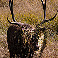 Elk Hairdo by Cathy Donohoue
