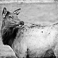 Elk IIi by Athena Mckinzie