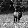 Elk In Black And White by Carol Montoya