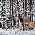 Elk In Jasper by Alanna DPhoto