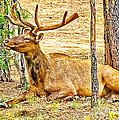 Elk In Kiabab National Forest Arizona by Bob and Nadine Johnston
