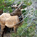 Elk In Rocky Mountain National Park by Rincon Road Photography By Ben Petersen