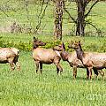Elk In The Meadow by Terri Morris