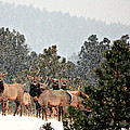 Elk In The Snowing Open by Barbara Chichester