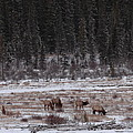 Elk Landscape by Bruce J Robinson