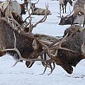 Elk by Michelle Vaniter-Verschelden