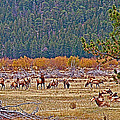 Elk Near Cub Lake Trail In Rocky Mountain National Park-colorado  by Ruth Hager