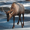 Elk On Ice by Perspective Imagery