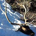 Elk Preservation. by Oscar Williams