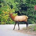 Elk Right Of Way by Joyce Dickens