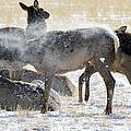 Elk Shaking Off Snow   #0530 by J L Woody Wooden