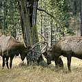 Elks Sparring Yellowstone Np Wyoming by Michael Quinton