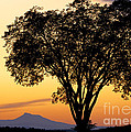 Elm At Twilight by Alan L Graham
