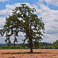 Elm Tree In Hay Field Art Prints by Valerie Garner