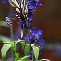 Elusive Zebra Swallowtail by Cindy Manero