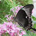 Emerald Peacock Swallowtail Butterfly #5 by Judy Whitton