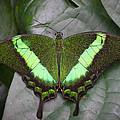Emerald Swallowtail Buttefly by Jack Nevitt