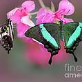 Emerald Swallowtail Butterflies by Sabrina L Ryan