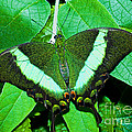 Emerald Swallowtail Butterfly by Millard H. Sharp