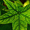 Emerging Greens by Kathy Barney