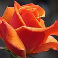 Emerging Red Rose by John Topman