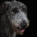 Irish Wolfhound II by Agustin Uzarraga