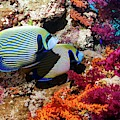 Emperor Angelfish On A Reef by Georgette Douwma