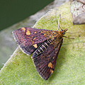 Emperor Moth by Richard Thomas
