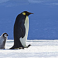 Emperor Penguin And Chick by Jean-Louis Klein and Marie-Luce Hubert