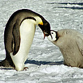 Emperor Penguin Chick Feeding by Carole-Anne Fooks