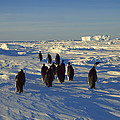 Emperor Penguin Group Walking On Ice by Konrad Wothe