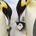 Emperor Penguin Parents With Chick by Konrad Wothe