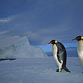 Emperor Penguins At Midnight Antarctica by Tui De Roy