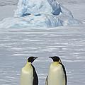 Emperor Penguins by John Shaw