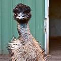 Emu by Carol Tsiatsios