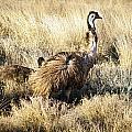 Emu Chicks by Tim Hester
