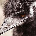 Emu Closeup by Karol Livote