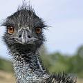 Emu Gaze by Belinda Greb