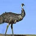 Emu Portrait Sturt National Park by Konrad Wothe