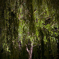 Enchanted Willow by Mylene O'Reilly
