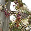End Of Season Grapes by Jennifer E Doll