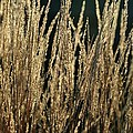 End Of Summer Grasses by Gregory Strong