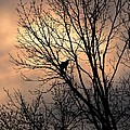 End Of The Day  Red Tailed Hawk by Charles Owens