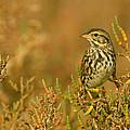 Endangered Beldings Savannah Sparrow - Huntington Beach California by Ram Vasudev